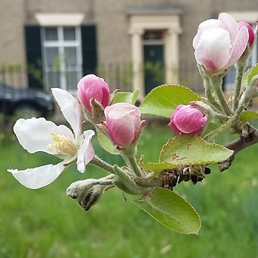 Picture of pink tinged apple blossom in the orchard to illustrate my five frugal things this week post.