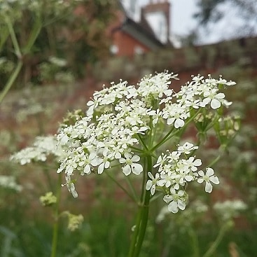 Picture of delicate white cow parsley growing on the corner near our garden wall