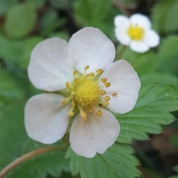 Picture of two white and yellow wild strawberry flowers in our garden