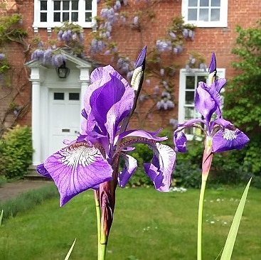 Picture of two purple irises in front of our house