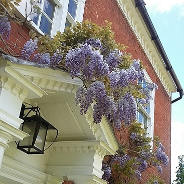 Picture of wisteria tumbling over the front door of our house, where we made a saving on our insurance quote