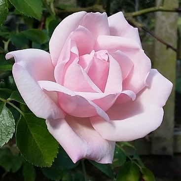 Picture of a perfect pink rose for my post about five fabulously frugal things I did this week