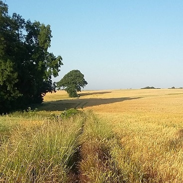 Photo of field of yellow barley with blue skies when I went running this week in blazing sunshine