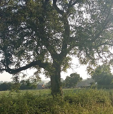 Picture of a tree with fields behind, cows and hay, which made me think about where to move to the country