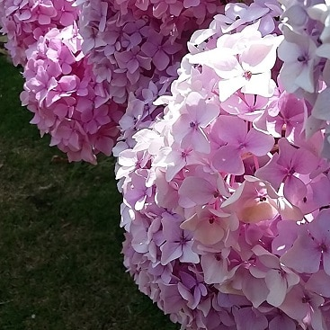 Picture of pink hydrangeas in the sunshine