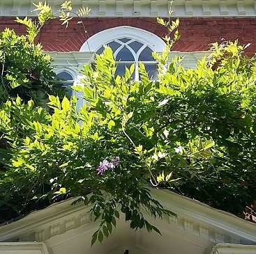 Photo of wisteria above our front door, blocking the window due to neglect during the long summer holidays
