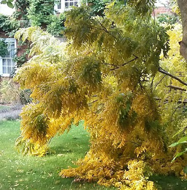 Picture of lots of yellow leaves on the acacia tree that fell in the storm, now facing up to dealing with trees