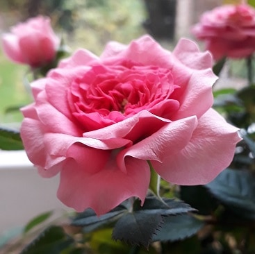 Picture of a tiny pink rose