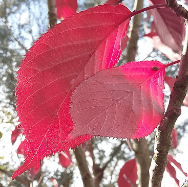 Picture of red leaves on a tree to illustrate a post on the autumn budget 2017