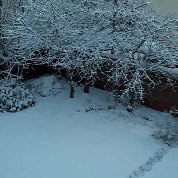 Picture of our front garden with the hornbeams, lawn and lavender covered in a blanket of snow