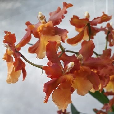 Photo of orange orchids in the glasshouse at Cambridge Botanic Gardens to illustrate my post on 5 frugal things this week