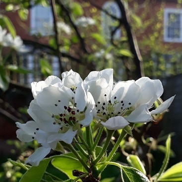 Picture of white pear blossom in the back garden to illustrate my five frugal things post
