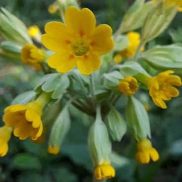 Photo of yellow cowslips in the front garden, for my post on spring in the garden