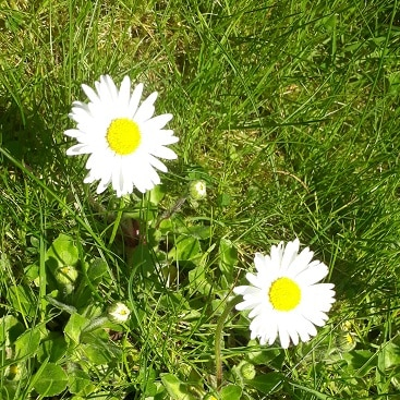 Picture of a couple of daisies in the grass for my post on spring in the garden