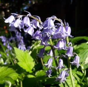 Picture of bluebells in our front garden to illustrate my five frugal things post