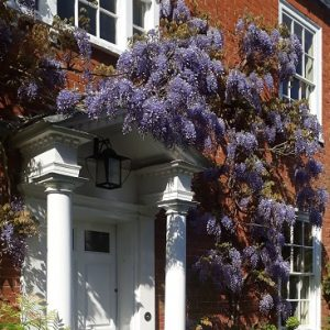 Picture of wisteria in bloom on the front of our house