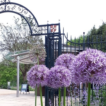 Picture of purple alliums by the wrought iron Brookside Gate entrance to Cambridge Botanic Garden