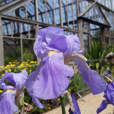 Picture of purple irises by one of the glasshouses in Cambridge University Botanic Garden during our family trip to Cambridge by train