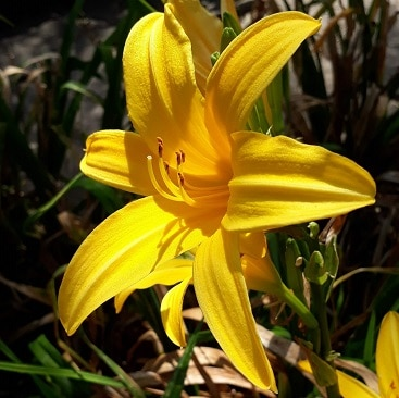 Picture of a sunshine yellow lily for my post about September resolutions