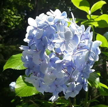 Picture of blue hydrangea flowers in the sunshine for my post on five frugal things for the new school year
