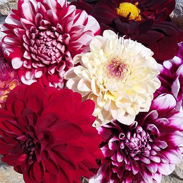 Picture of a bunch of 5 different coloured dahlias for my post about which Vanguard LifeStrategy fund is right for you?