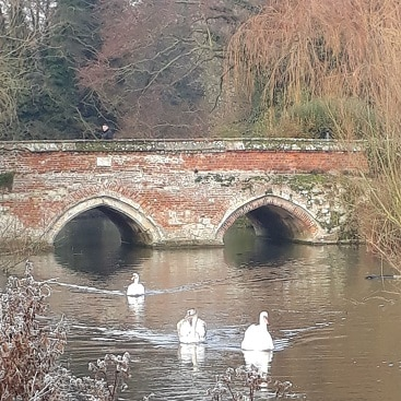 Picture of swans swimming on the river Brett in front of Toppesfield Bridge for my Merry Christmas post