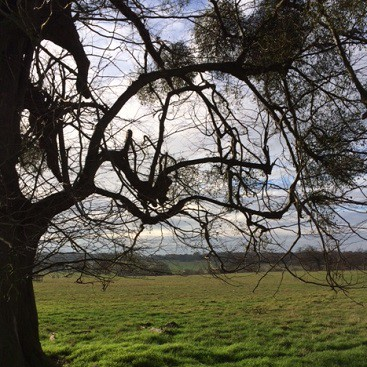 Picture of a tree with misteltoe in the park round The Ickworth Hotel