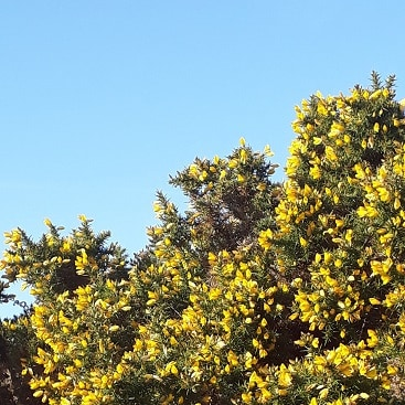 Picture of blue skies and golden gorse, when we went for a walk around Dunwich during half term