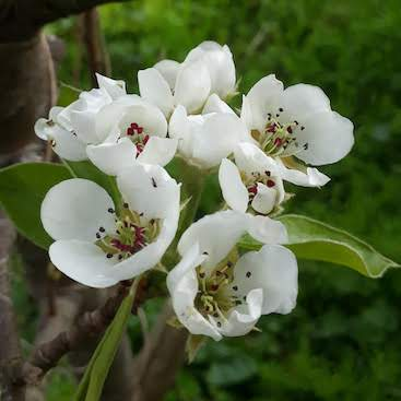 White pear blossom on the tree in the back garden