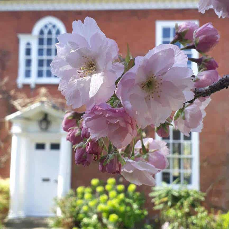 Picture of cherry blossom in the front garden