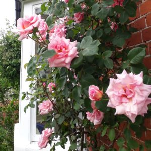 Picture of pink roses in full flower by next to the back door