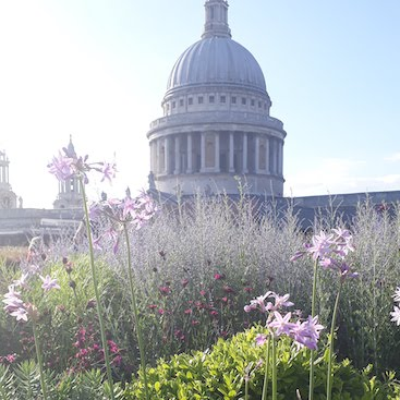 Picture of the dome of St Pauls cathedral from a roof garden with agapanthus