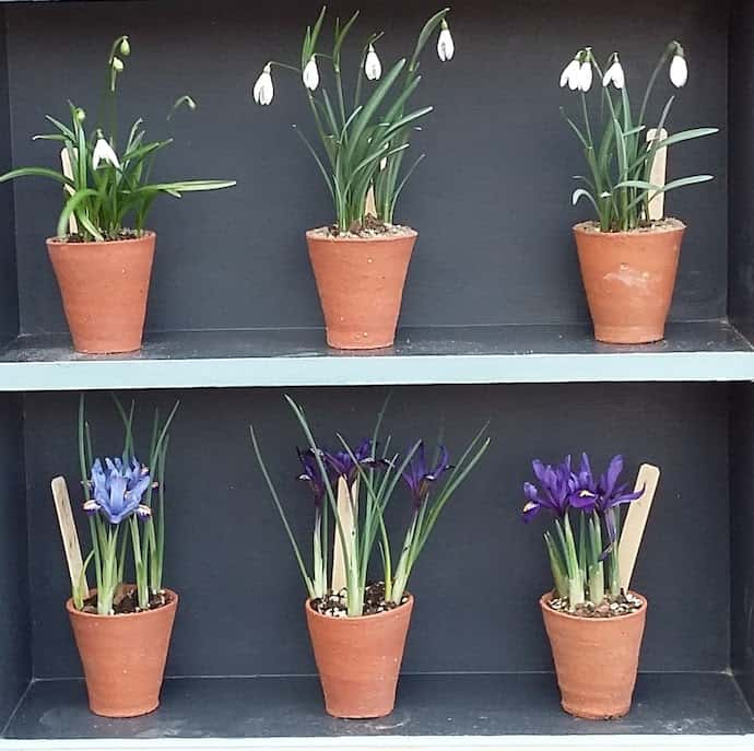 Picture of pots of snowflakes and crocuses on shelves for my post on the Vanguard SIPP