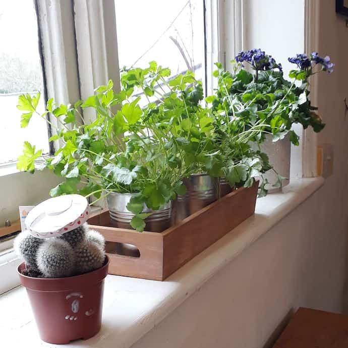 Picture of parsley, chives and coriander on our windowsill