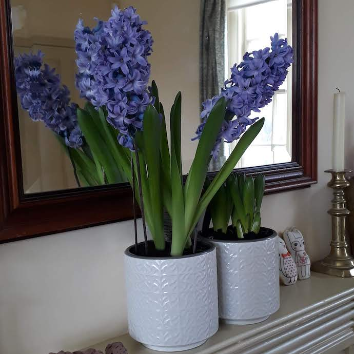 Picture of a hyacinth bought for Mothers' Day in full bloom