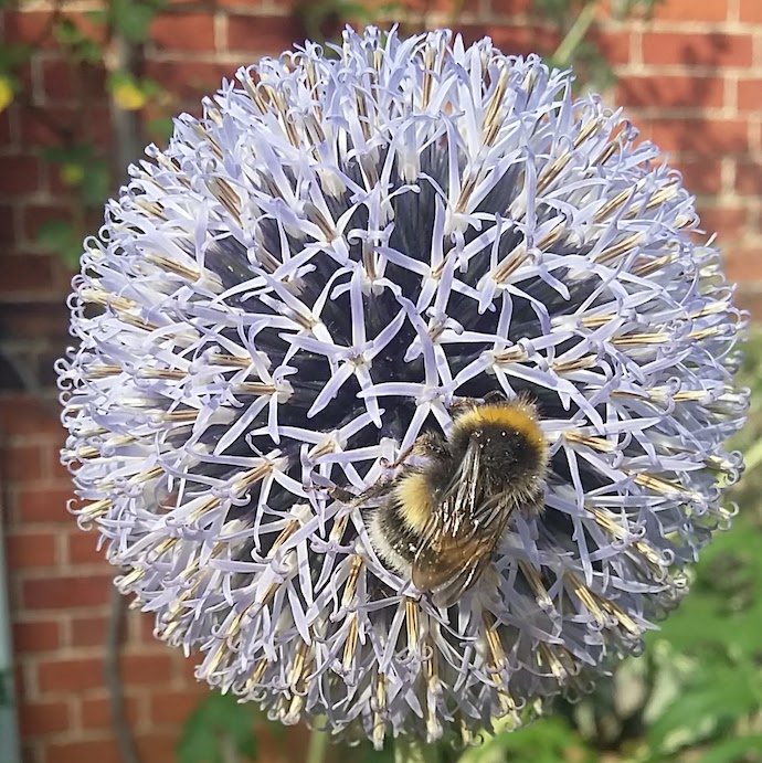 Picture of a bee on our echinops last year for my post on 30 Days Wild