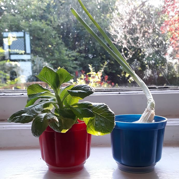 Picture of a lettuce stem and end of spring onion sprouting from pots of water on a windowsill
