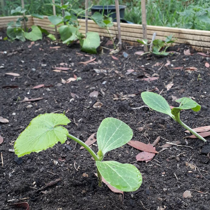 Picture of courgette and bean seedlings in our raised bed