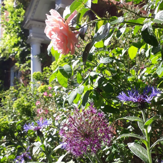 Picture of rose, cornflowers and allium by our front door