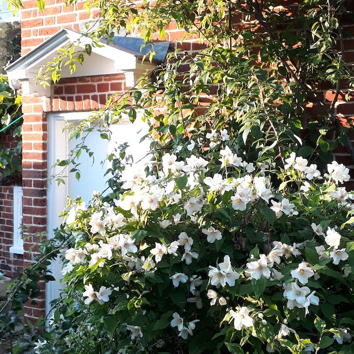 Picture of orange blossom bush by our kitchen door
