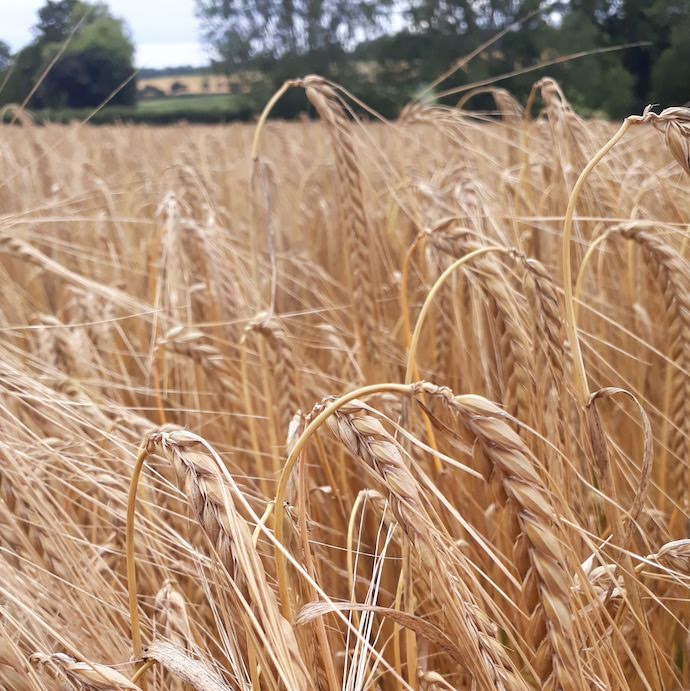 Picture of a field of wheat for my post on financial admin