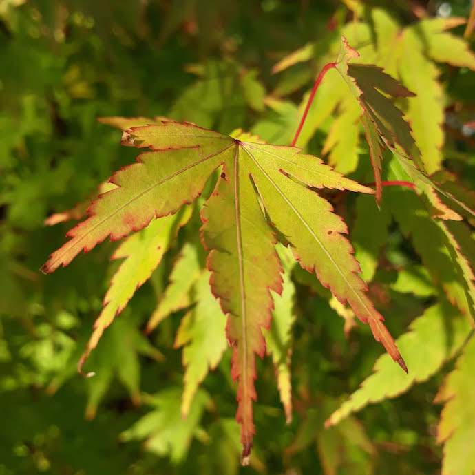 Picture of acer leaves for my post on using your pension to build a better world