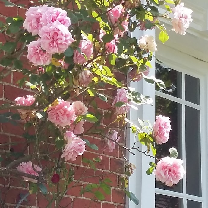 Picture of roses round the door for my post on Nutmeg, Wealthify and Vanguard