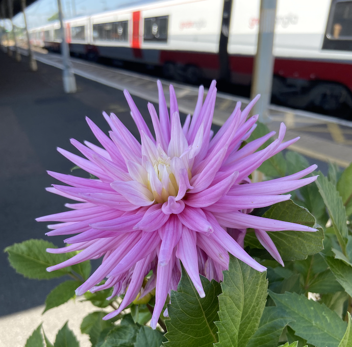 Picture of a fancy dahlia at Manningtree station, after I bought the tickets with a gift voucher