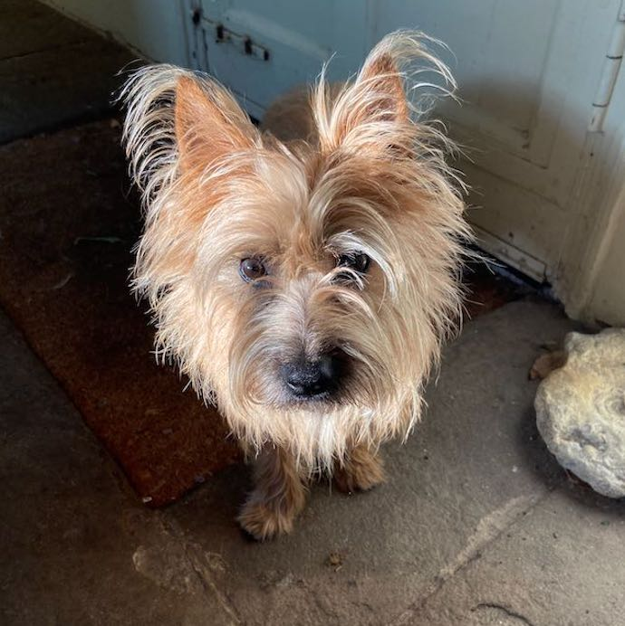 Picture of Otto the cairn terrier looking endearing